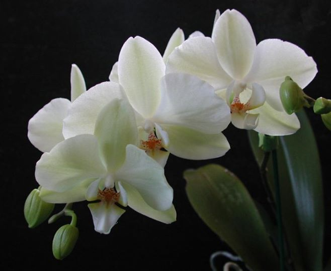 Phalaenopsis Misty Green