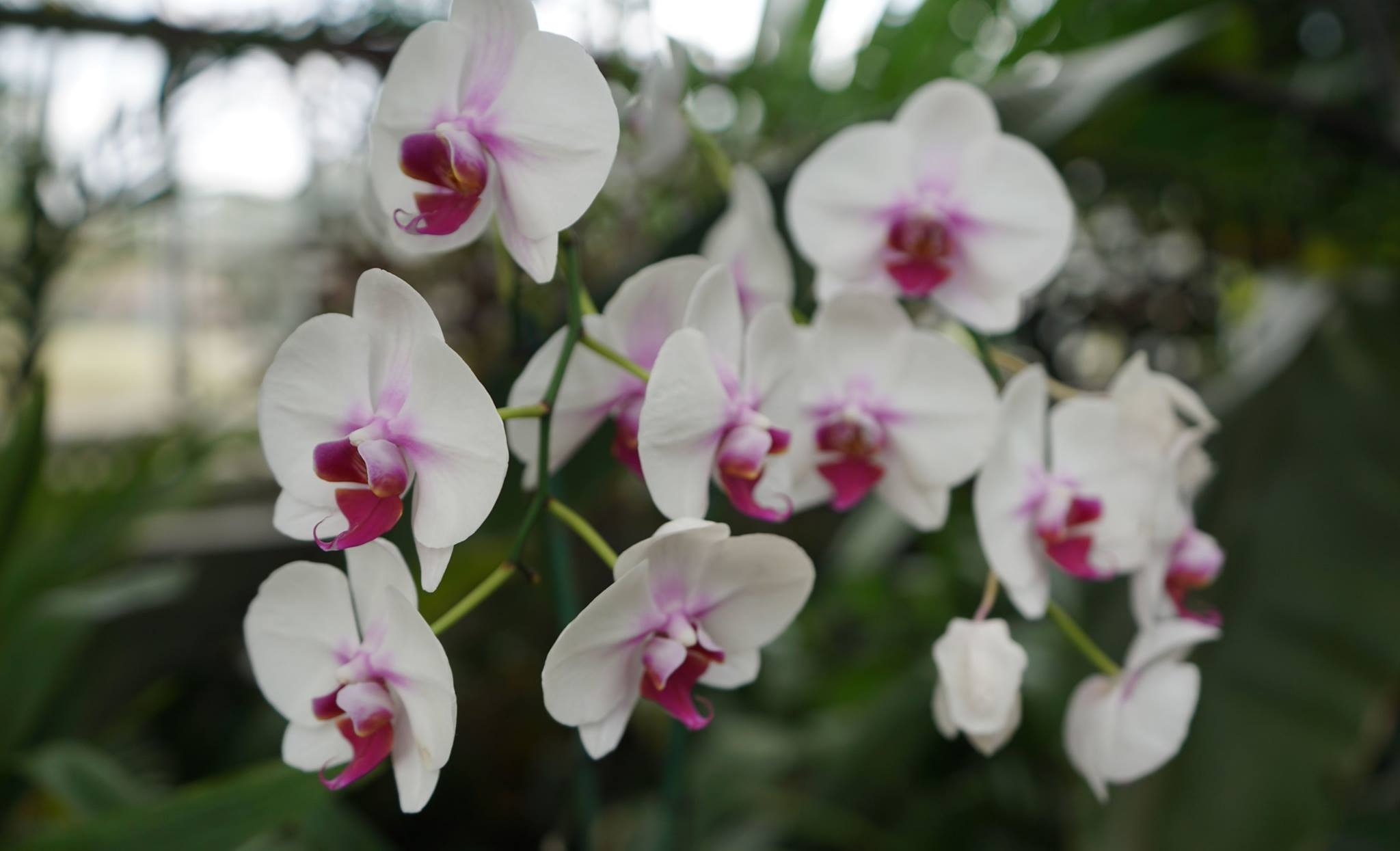 Phalaenopsis Mount Lip